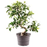 Brussel's Bonsai Live Golden Gate Ficus Indoor Bonsai Tree - 7 Years Old 8'' to 10'' Tall with Plastic Grower Pot, Medium,