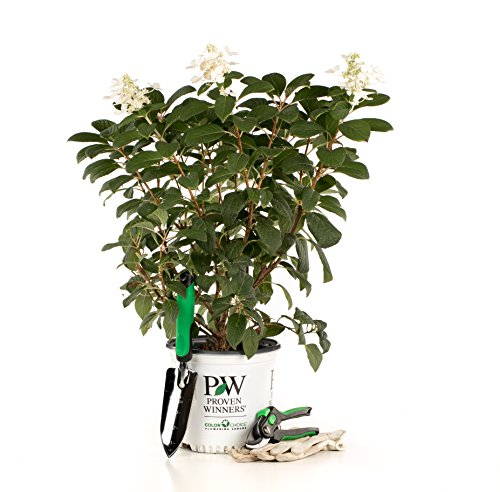 Little Quick Fire Hardy Hydrangea (Paniculata) Live Shrub, White to Pink Flowers, 1 Gallon by Proven Winners (Image #9)