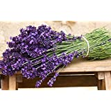 Seeds English Lavender (Lavandula officinalis) Organic Heirloom Herb Seed