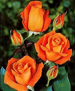 Planta de Maceta de exterior Roseto Rosa Naranja 'Peach Flower' de Trapianto