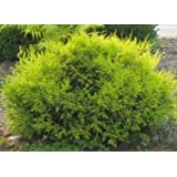 "Sungold Cypress Plant - Chamaecyparis - Evergreen Shrub - 4"" Pot"