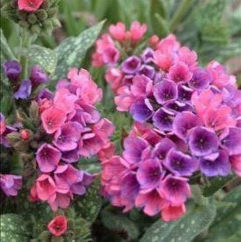 PULMONARIA 'Raspberry Splash' - Lungwort Perennial. Plant by VioletSeeds (Pulmonaria Raspberry Splash)