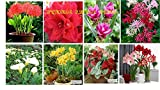 BEST SELLING SUMMER FLOWERS BULBS PACK OF 8 PCS (FOOTBALL LILY, AMARALIS LILY RED,& DOUBLE ,CALADIUM,NERINE LILY, LYCORIS LILY, CALA LILYCORCUMA)