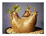 Pachypodium horombense - Horombe Clubfoot - Yellow Bell Pachypodium - 3 seeds