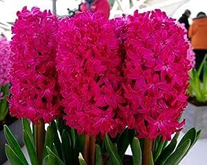 Humphreys Garden Red Hyacinth Jacintos Jan Bos x 5 Bulbs Bulbos de Flores