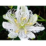 HEIRLOOM NON GMO White Bridle Passion Flower 5 seeds