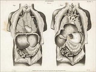 Posterlounge Stampa su PVC 40 x 30 cm: Anatomy of Human Internal Organs di Thomas Milton/Fotofinder.Com