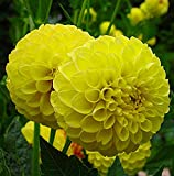 Golden Scepter Pompon Dahlia - 2 Bulb Clumps