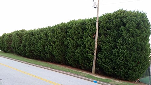 4 plants of (3 gallon) Green Giant Thuja,liner, Nature's Privacy Fence, Green, Tall and Beautiful Hedge by Pixies Gardens