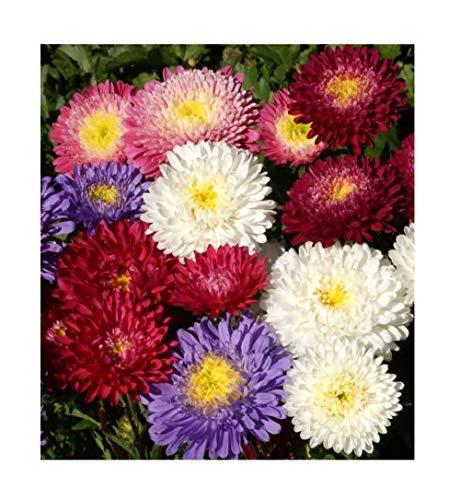 David's Garden Seeds Flower Aster China Powderpuff Mix 8790 (Mulit) 500 Open Pollinated Seeds