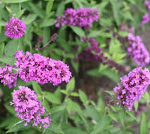 Tutti Fruitti Pink Flutterby Petite Dwarf Butterfly Bush - Live Plant -  Trade Gallon Pot