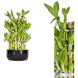 Lucky Bamboo (Dracaena Sanderiana) Tower 25cm +/- in Ceramic Pot - Round - Random Colour