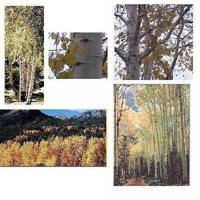 - 1 Quaking Aspen Tree - Larger/Older 30+inch, Fast Growing Hardwood, White Trunks