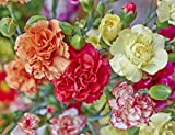 Carnation Szabo - variety mix; clove pink - seeds