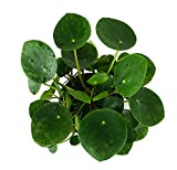"""Pilea peperomioides - Chinese Money Plant 4"""" Pot"""