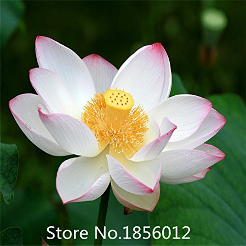 10pcs 10 kinds bowl Lotus seeds bonsai lotus flower seeds plants water lily lotus seed Aquatic plants How to Plant home Garden B