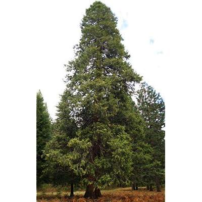 Cheap Fresh Cedar Seeds Calocedrus Decurrens California Incense Get 5 Seeds Easy Grow #GRG01YN : Garden & Outdoor
