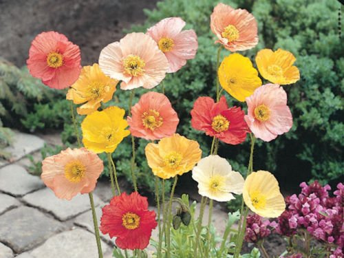 1000+ ICELAND POPPY MIX Seeds Scarlet White Tangerine Gold Apricot Pink Flowers