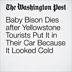 Baby Bison Dies after Yellowstone Tourists Put It in Their Car Because It Looked Cold | Karin Brulliard