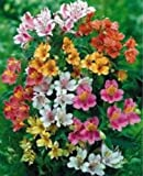 20 PERUVIAN LILY MIX Alstroemeria Dr Salters Flower Seeds *Comb S/H