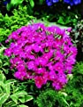Dianthus Supra Purple 250 seeds