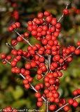 Berry Heavy Winterberry - Ilex - Vivid - Also Bonsai! - Proven Winner