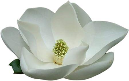 Amazon Com Mabes Warehouse Magnolia Grandiflora 30 Seeds