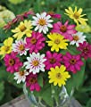 "(AZZ)~""ZAHARA RASPBERRY LEMONADE MIX"" ZINNIA~Seeds!!!!~~~~~~Unique Mix!"