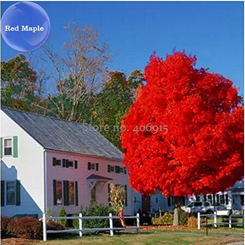 New BELLFARM Autumn Blaze Red Maple Tree, 20 + Seeds