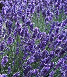 "HERB LAVENDER (LAVENDULA ANGUSTIFOLIA) ""VERA"" TRUE LAVENDER OR ENGLISH LAVENDER HEAVENLY SCENTED MOST TREASURED LAVENDER FOR ITS HIGH QUALITY OILS AND MEDICINAL USES APPROX 105 SEEDS"
