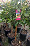 Tropic Pink Guava Tree -- 12 by 12 Inch Container