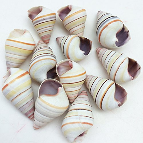 (PEPPERLONELY 12 PC Candy Stripe Tree Snail Sea Shells, 1 Inch ~ 1-1/4 Inch)