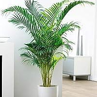 Vamsha Nature Care Areca Palm Indoor Plant