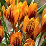 Van Zyverden Crocus Orange Monarch Set of 25 Bulbs
