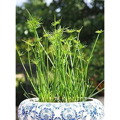 Bio Garden - Rare 100pcs Egyptian Papyrus Dwarf Cyperus percamenthus Seeds Easy to Grow, Exotic Flower Seeds Hardy Perennial Garden : Garden & Outdoor
