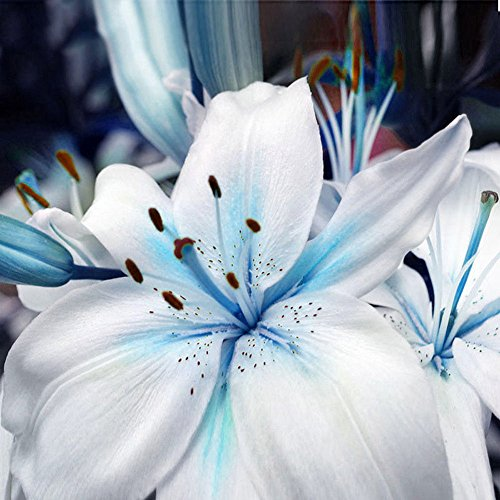 super1798 50Pcs Blue Rare Lily Bulbs Seeds Planting Lilium Flower Home Garden Decor