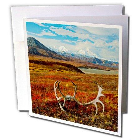 Caribou antlers on the Alaskan tundra, Denali NP, Alaska- Greeting Card, 6 x 6 inches, single - Antlers Caribou