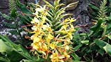 25 Hedychium gardnerianum Seeds , Kahili Ginger Seeds , Ker-Gawl Seeds