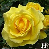 2-Pack Own-Root One Gallon Gold Badge Climbing Roses by Heirloom Roses