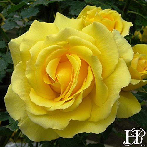 2-Pack Own-Root One Gallon Gold Badge Climbing Roses by Heirloom Roses by Heirloom Roses (Image #4)