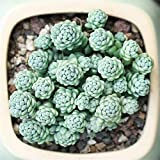 Live Succulent Lithops Cactus Plant   Sedum dasyphyllum 'Major'