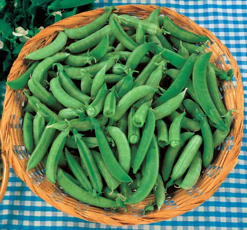 Super Sugar SNAP Organic Snap Pea 35+ Seeds Edible POD Non-GMO