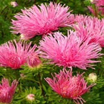 Outsidepride Aster Tall Needle Salmon Plant Seed - 1000 Seeds