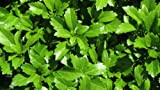 Pachysandra Terminalis 'Green Carpet' Groundcover - 300 Bare Root Plants