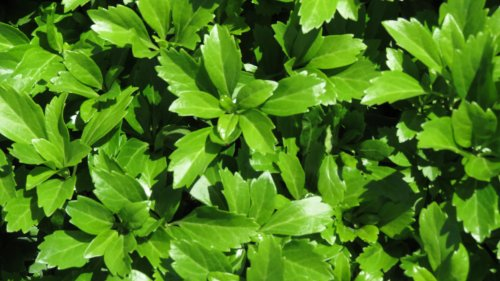 Pachysandra Terminalis 'Green Carpet' Groundcover - 100 Bare Root Plants