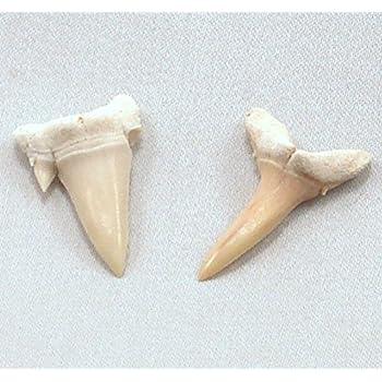 Sharks Teeth Fossil - GeoBytes Science Kit, set of 2 teeth