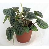 "'Theresa' Peperomia 4"" Pot - Easy to Grow Houseplant"