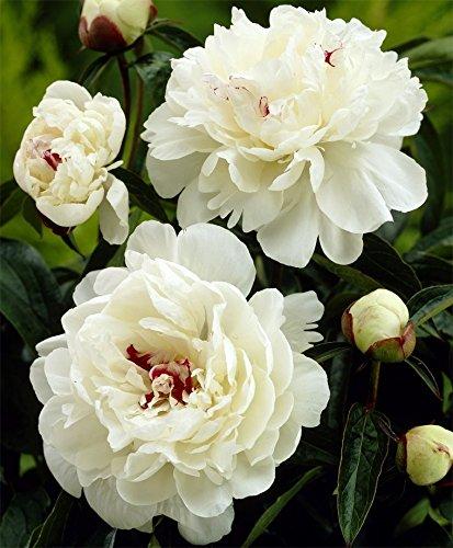1 PEONY FESTIVA MAXIMA ROOTSTOCK, 3 -5 Eyes, Great for Fall Planting!