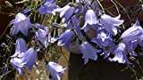 Home Comforts Laminated Poster Harebell Flower Alpine Blue Campanula Poster Print 24 x 36