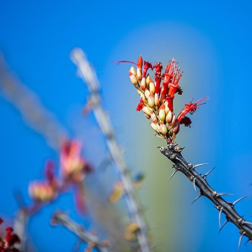Desert Photo Red Bloom Flowering Botanical Nature Photograph or Stretched Canvas